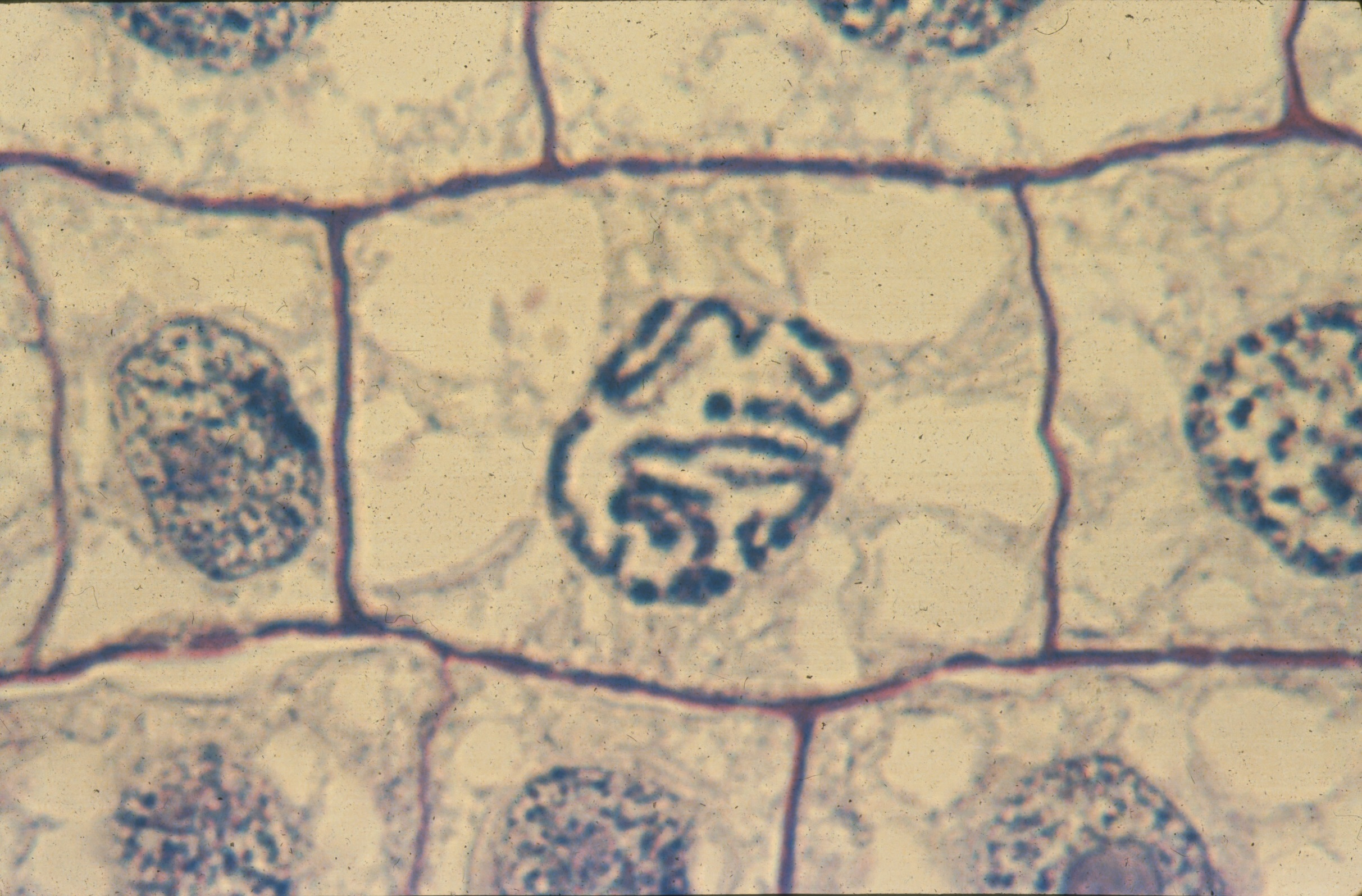 Mitosis, White Fish, and Allium Slides