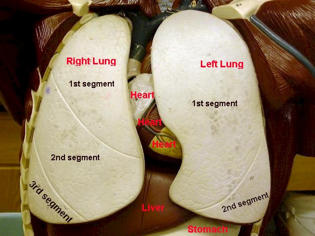 lungs in relation to cardiovascular and digestive organs