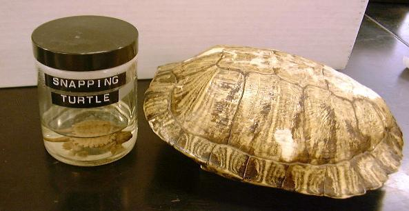 snapping turtle and turtle shell