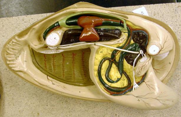 mussel model