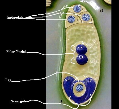 fusion nucleus