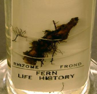 Polypodium (Fern) Life History