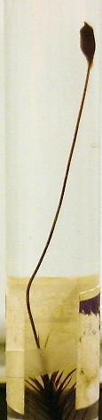 Sporophyte of Polytrichum