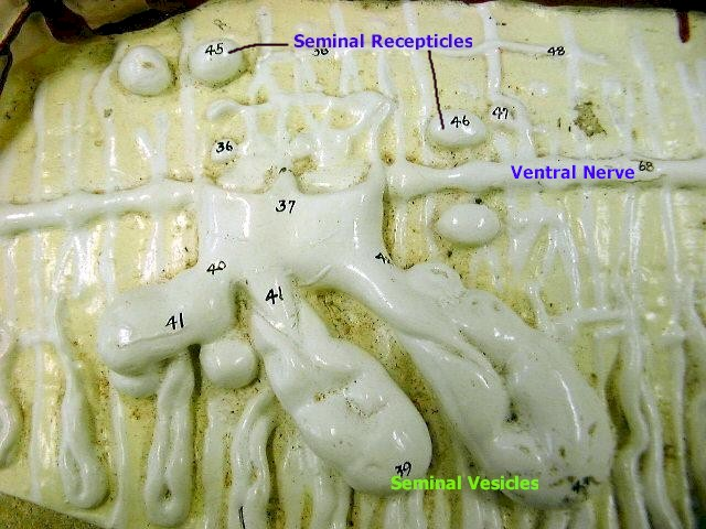 seminal recepticles and ventral nerve and seminal vesicles