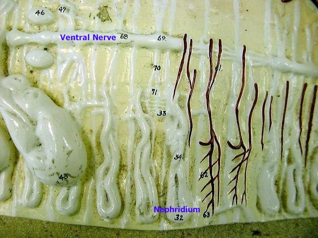 ventral nerve and nephridium