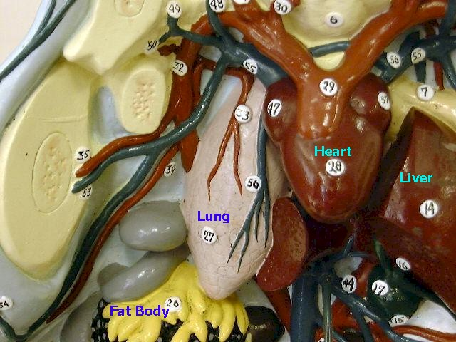 frog-fat body, lung, heart, and liver