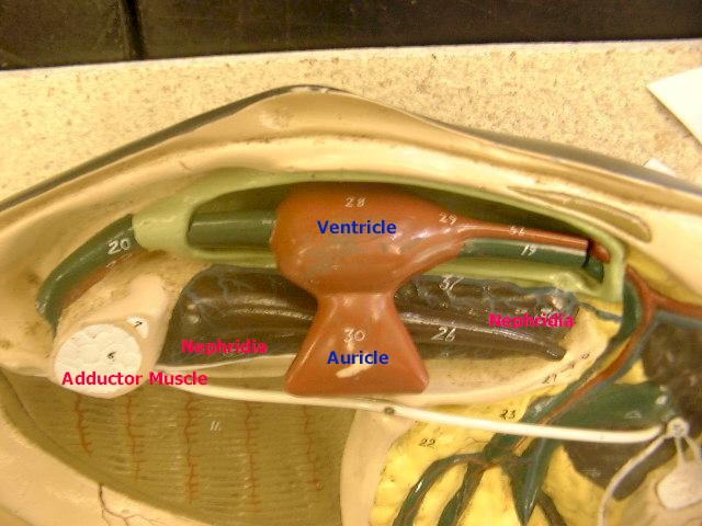adductor muscles, nephridia, ventricle, and auricle